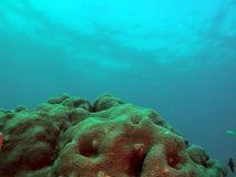 korallstjärna Arkivbild
