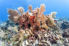Koralltr?dg?rd i karibiskt arkivbild