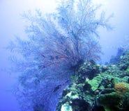 korallventilator Royaltyfri Foto