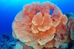 korallventilatorhickson s royaltyfri bild