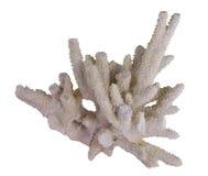 korallwhite arkivbild