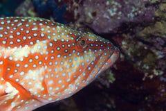 Koralowa łania   obraz stock