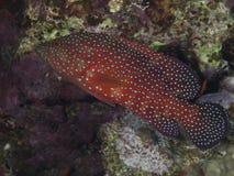Koralowa łania zdjęcia stock