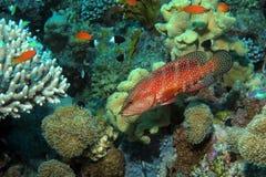 Koralowa łania przy Shelenyat rafą zdjęcie royalty free
