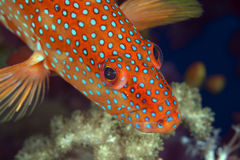 Koralowa łania w Czerwonym morzu. zdjęcia stock