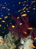 koralowa czerwień Zdjęcia Stock