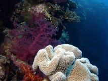 koralowa czerwień Obrazy Royalty Free