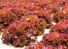 koralowa czerwień Zdjęcie Royalty Free