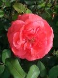 Koralowa czerwieni róża obrazy royalty free