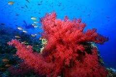 koralowa czerwona miękka część zdjęcie royalty free