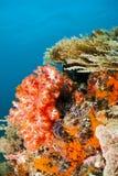 koralowa czerwona miękka część Zdjęcia Royalty Free