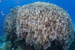 koralowa góra Obrazy Stock