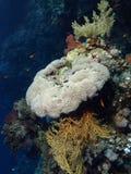 koralowa miękka część Zdjęcia Royalty Free