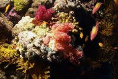 koralowa miękka część Zdjęcie Royalty Free
