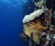 koralowa miękka część Obrazy Royalty Free