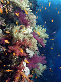koralowa miękka część Obraz Stock