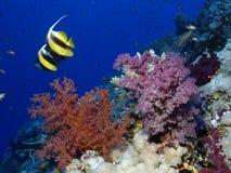 koralowa miękka część Obraz Royalty Free