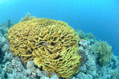 koralowa nieskazitelna sałatka Zdjęcia Royalty Free