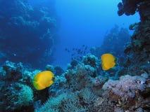 koralowa scena Fotografia Stock