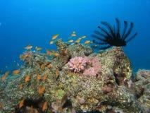 koralowa scena Zdjęcia Royalty Free