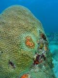 koralowa twarz Obrazy Royalty Free