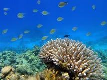 koralowe ryba Zdjęcie Royalty Free