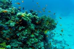 koralowe ryba refują tropikalnego _ Fotografia Royalty Free