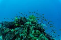 koralowe ryba refują tropikalnego _ Obrazy Royalty Free
