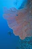 koralowego fan gorgonian rafy ściana Fotografia Stock