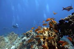 koralowego nurka rafy akwalungu tropikalny underwater Zdjęcia Royalty Free