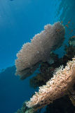 koralowego przykładu heatlhy stół Obrazy Stock