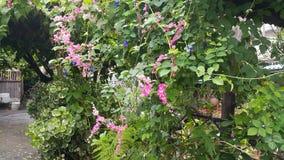Koralowego winogradu pełzacza Meksykański łańcuch miłość Fotografia Royalty Free