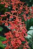 Koralowi Czerwoni orchidea kwiaty - Feng Shui rośliny fotografia stock