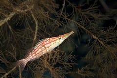 koralowy czarny koralowy hawkfish Obrazy Royalty Free
