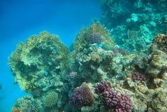 koralowy czerwieni rafy morze Fotografia Royalty Free