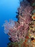 koralowy echinigorgia fan morza sp Fotografia Royalty Free