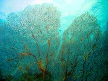 koralowy fan Obrazy Stock