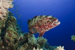 koralowy grouper Obraz Royalty Free