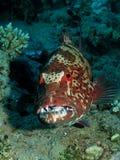 koralowy grouper Zdjęcia Stock