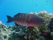 koralowy grouper Fotografia Stock