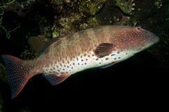 Koralowy Grouper (Plectropomu s pessuliferus). Fotografia Royalty Free