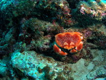 koralowy krab Zdjęcia Royalty Free