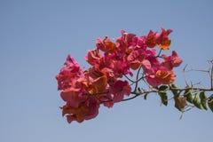 Koralowy kwiatu krzaka Bougainvillea Obrazy Stock