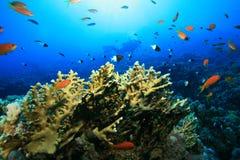 koralowy nurek bada rafowego akwalung Fotografia Royalty Free