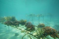 Koralowy odzyskiwanie Zdjęcia Royalty Free