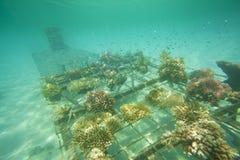 Koralowy odzyskiwanie Obrazy Royalty Free