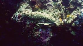 koralowy ogórka rafy morze zbiory wideo