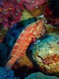 Koralowy Tylni Grouper Zdjęcie Royalty Free