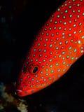 Koralowy Tylni Grouper Zdjęcia Royalty Free