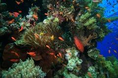 koralowy zdrowy rafowy tropikalny Zdjęcie Royalty Free